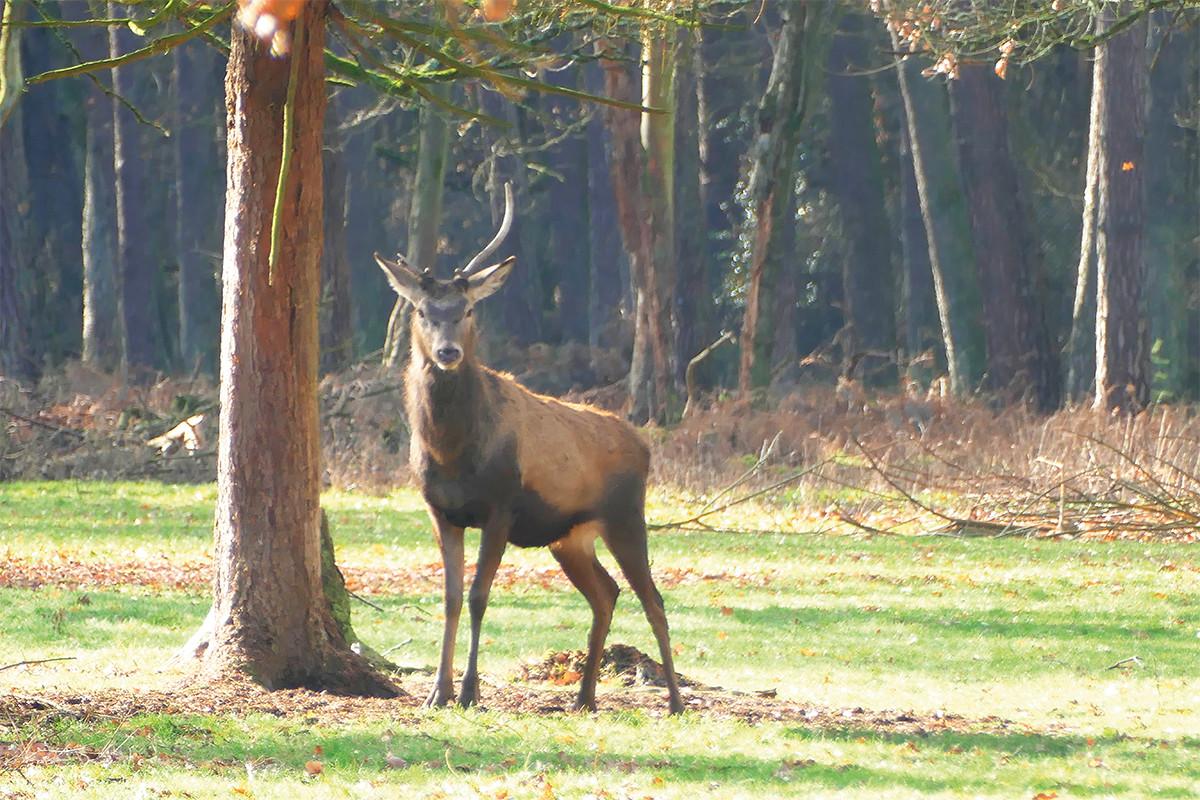 Hirsch steht unter einem Baum