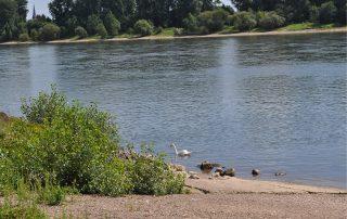 Enten und ein Schwan am Ufer des Rheins